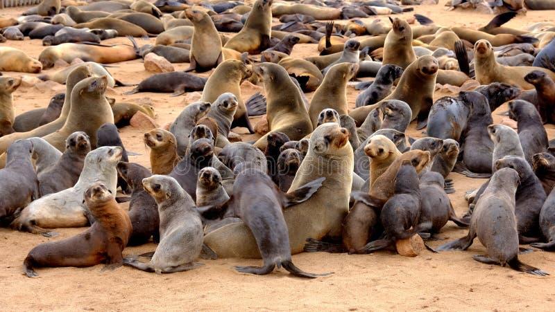 Jeunes bébés phoques de fourrure de cap avec leurs mères à la colonie de joint sur la plage à la croix de cap sur la côte namibie photos stock