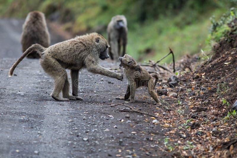 Jeunes babouins photographie stock