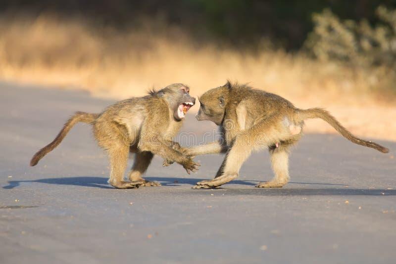 Jeunes babouins jouant dans une fin de l'après-midi de route avant de retourner image stock