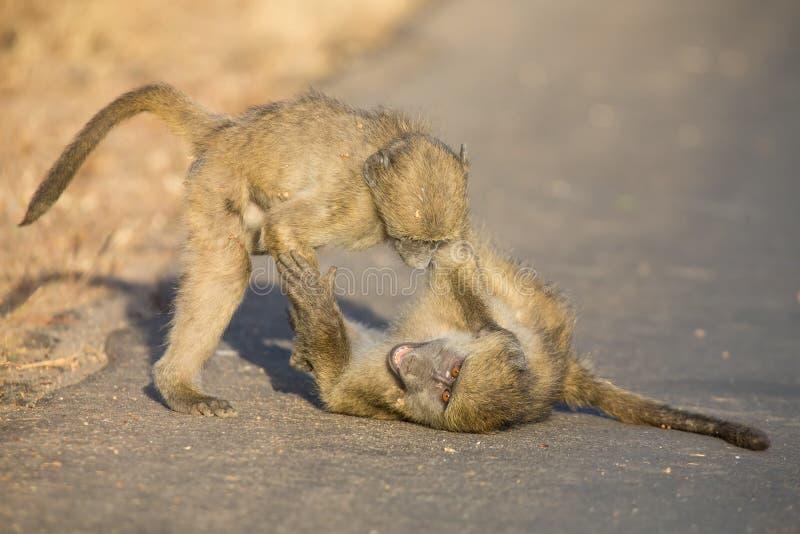 Jeunes babouins jouant dans une fin de l'après-midi de route avant de retourner photo stock