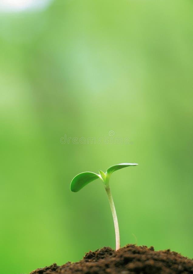 Jeunes bourgeons de vert photos libres de droits