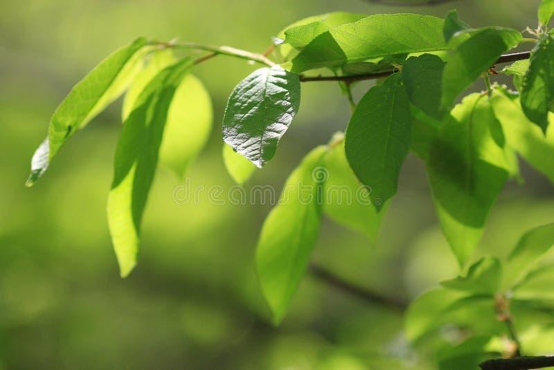 Jeunes branches avec des feuilles images libres de droits