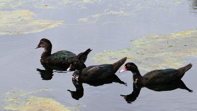 Jeunes canards de Muscovy photos stock