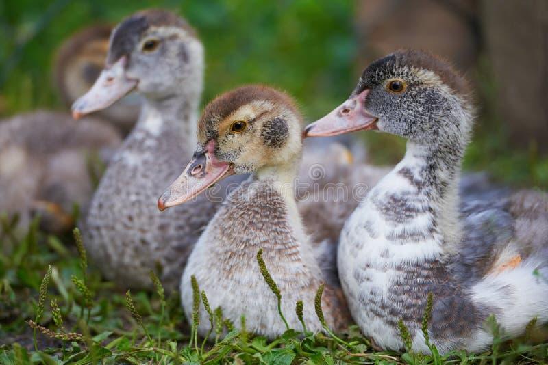 Jeunes canards sur la ferme avicole gratuite traditionnelle de gamme image libre de droits
