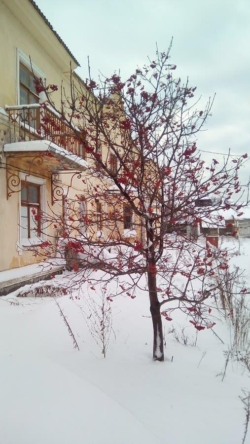 Jeunes cendres de montagne aux fruits rouges le jour d'hiver froid. Cour couverte de neige, bâtiment lumineux de deux étages images libres de droits