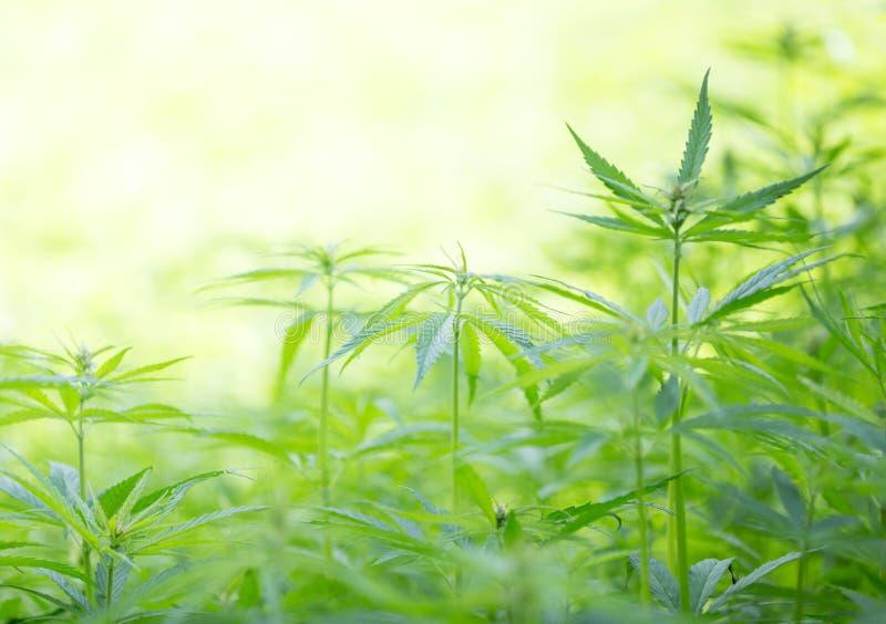 Jeunes centrales de cannabis photographie stock