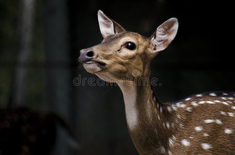 Jeunes cerfs communs avec le fond noir photographie stock