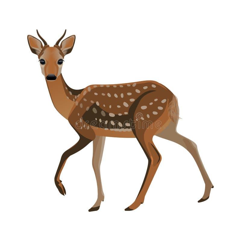 Jeunes cerfs communs avec les klaxons courts et la fourrure pelucheuse brune illustration libre de droits