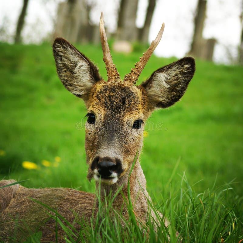 Jeunes cerfs communs dans l'herbe photographie stock libre de droits