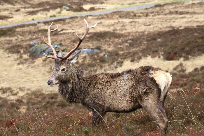 Jeunes cerfs communs dans le pré aux montagnes, Ecosse photographie stock libre de droits
