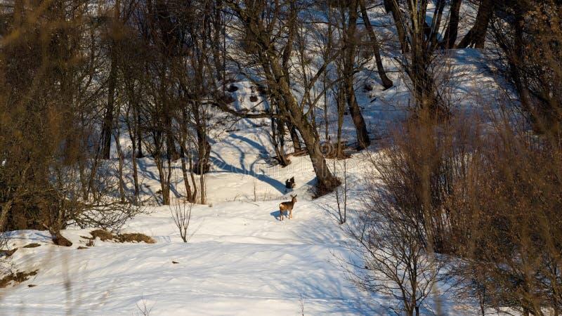 Jeunes cerfs communs faisant une promenade image libre de droits