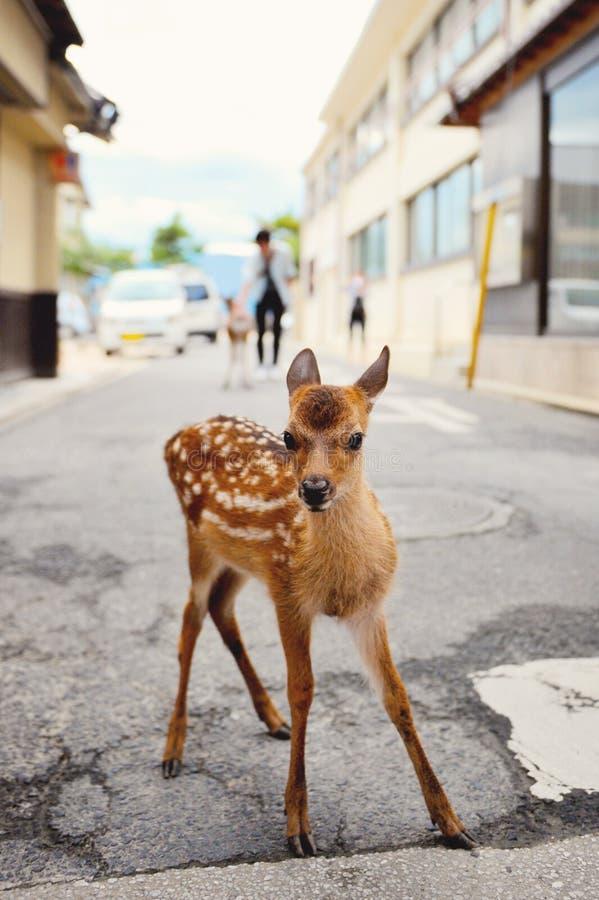Jeunes cerfs communs (faon) à Miyajima photographie stock