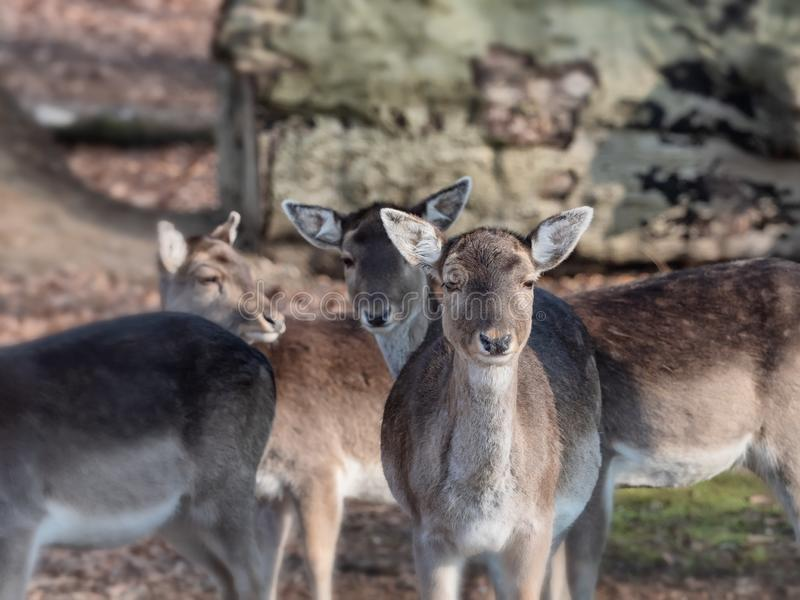 Jeunes cerfs communs un matin clair dans Vejle, Danemark image stock