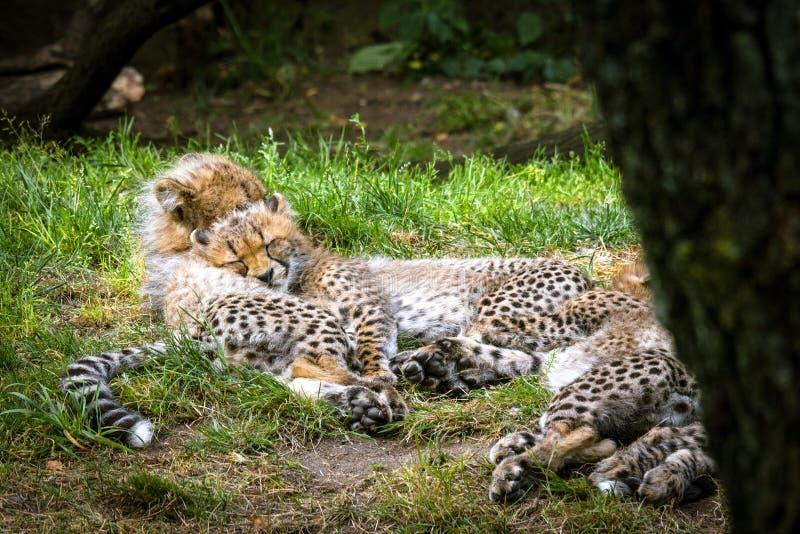 Jeunes chatons de guépard jouant dans l'herbe photo libre de droits