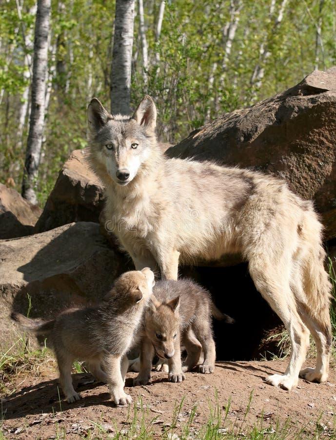 Jeunes chiots de loup gris avec le parent images stock