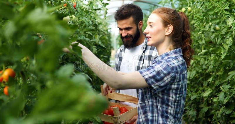 Jeunes couples des agriculteurs travaillant en serre chaude photos stock
