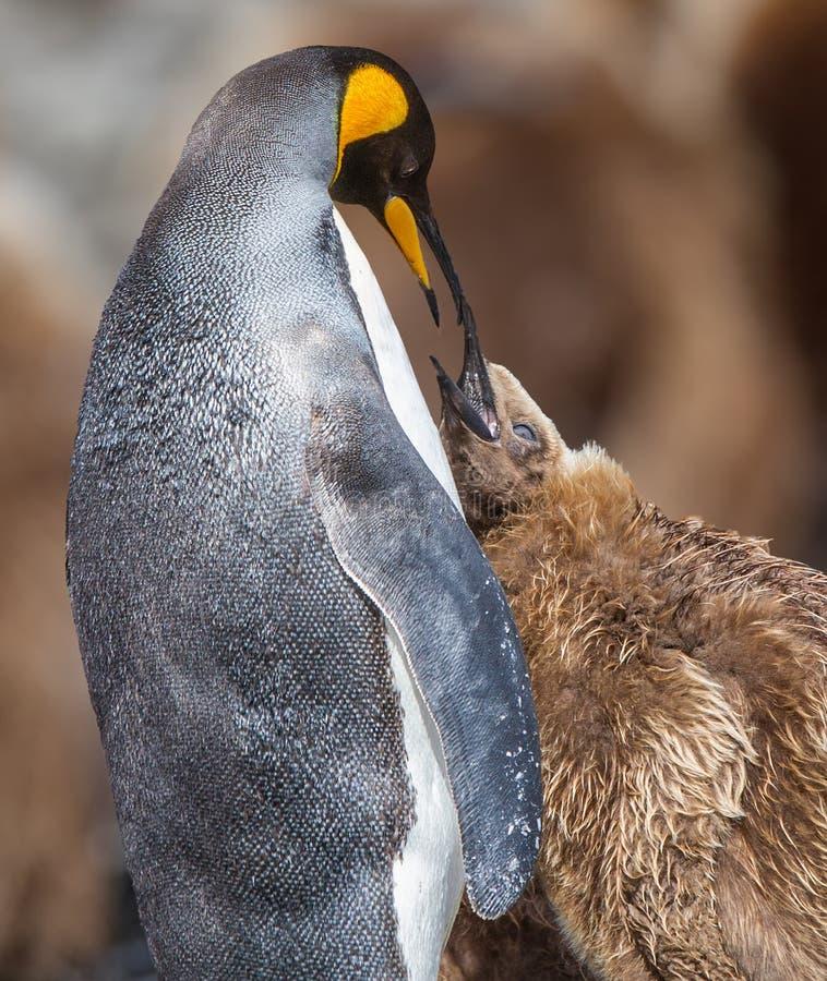 Jeunes de alimentation du Roi Penguin de mère images stock