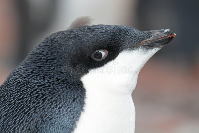Jeunes de pingouin d'Adelie, Antarctia images stock