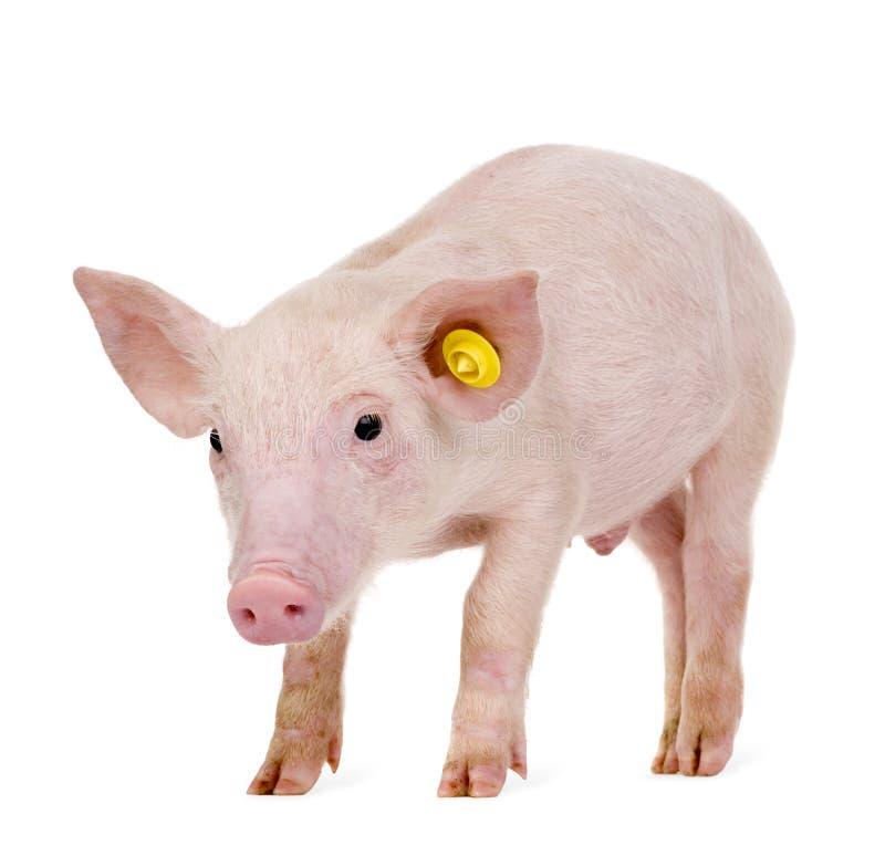 jeunes de porc de 1 mois photographie stock libre de droits
