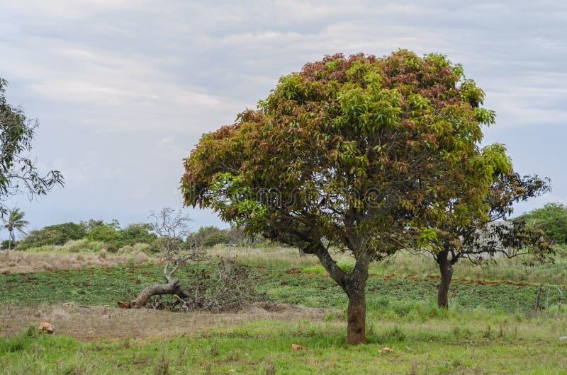 Jeunes feuilles colorées de manguier image stock