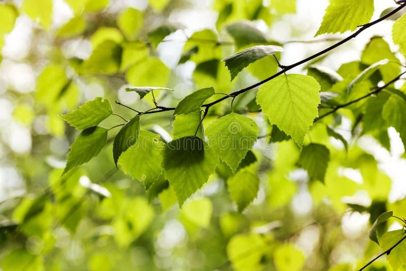 Jeunes feuilles de bouleau sur des branches photo stock
