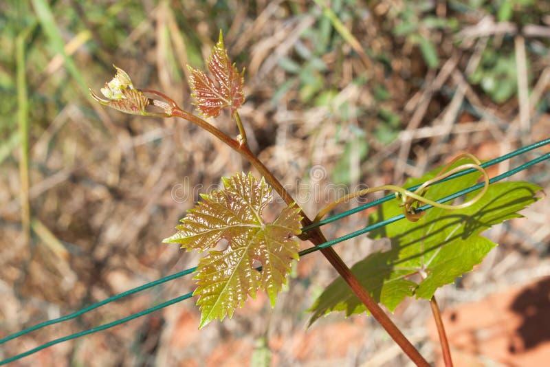 Jeunes feuilles de raisin dans le vignoble Raisins croissants dans le vignoble Vin croissant à vendre Jeunes raisins sur la vigne images stock