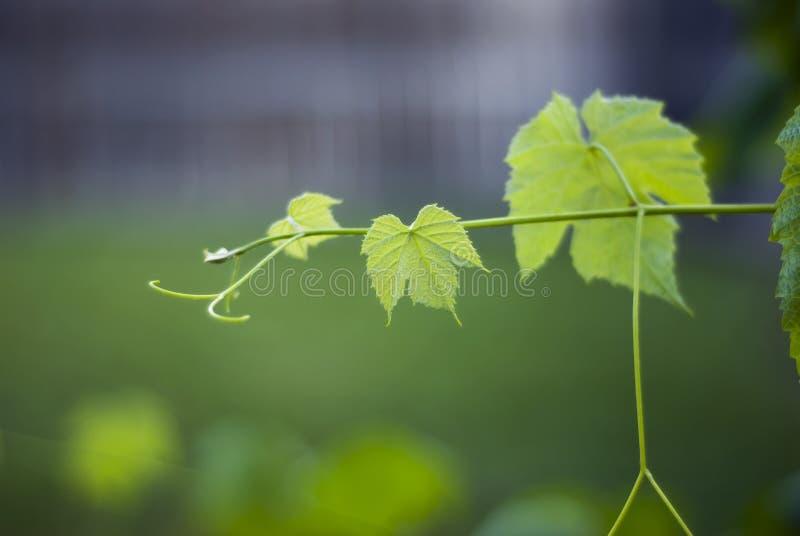 Jeunes feuilles de raisin sur la vigne photographie stock