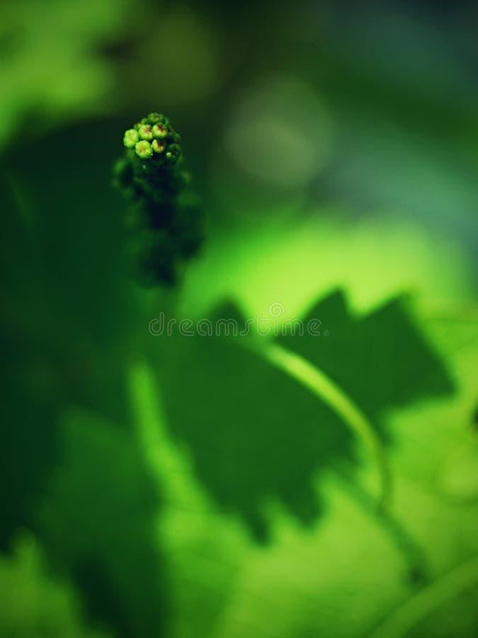 Jeunes feuilles de raisin, vérification de la croissance Jeunes raisins de cuve photographie stock libre de droits