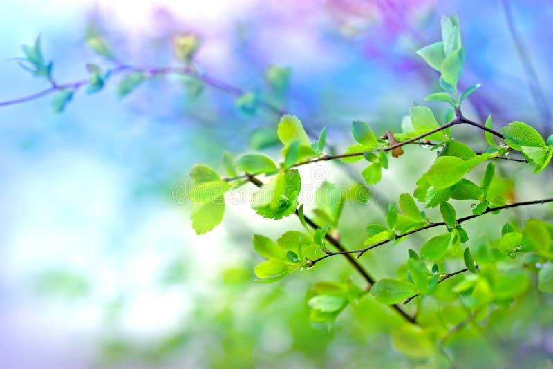 Jeunes feuilles de ressort après pluie photos libres de droits