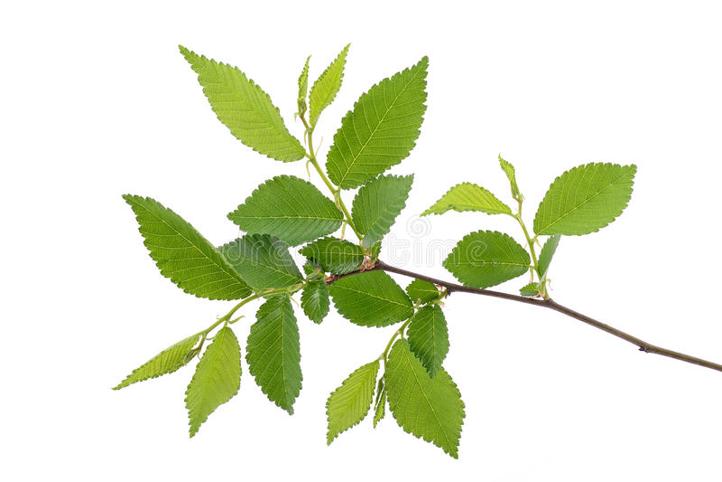 Jeunes feuilles de ressort sur la branche photo libre de droits