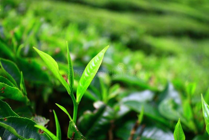 Jeunes feuilles de thé en montagnes de Cameron photos stock