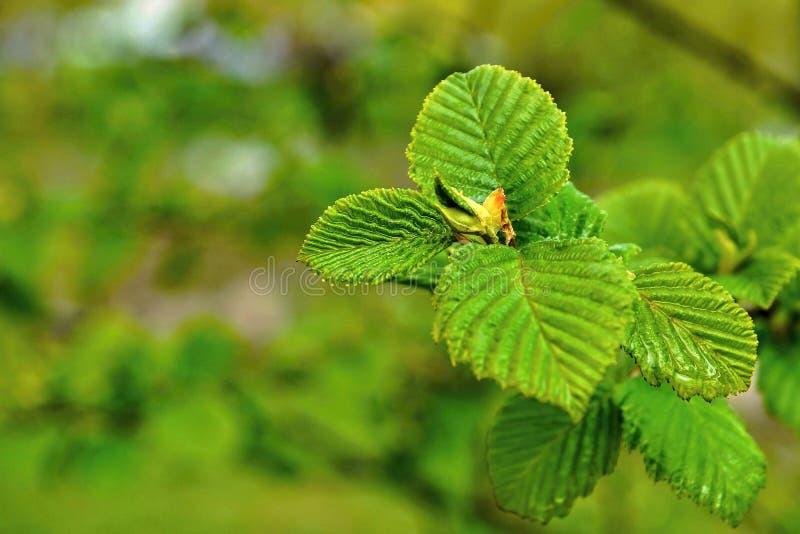 Jeunes feuilles de vert sur une branche d'arbre images libres de droits