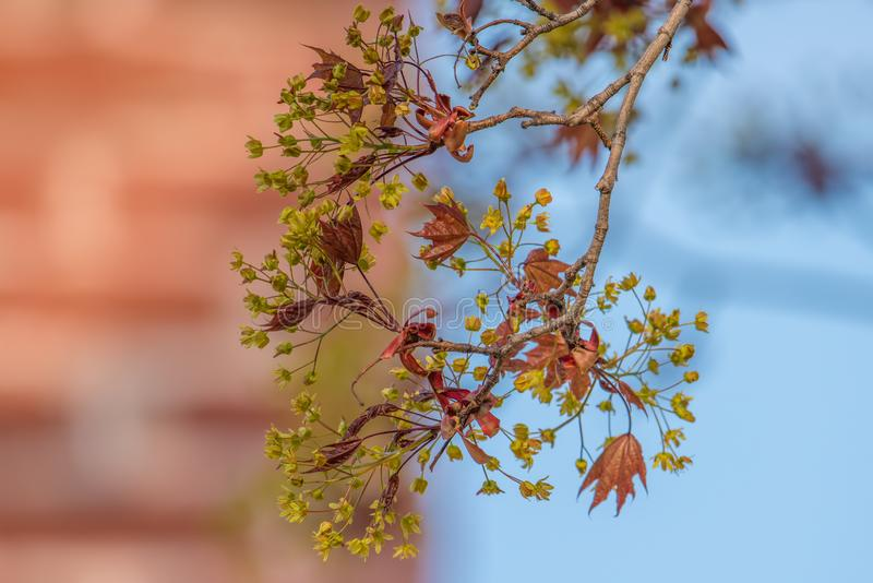 Jeunes feuilles et fleurs d'érable à sucre sortant au printemps - ciel bleu et brique à l'arrière-plan photo libre de droits