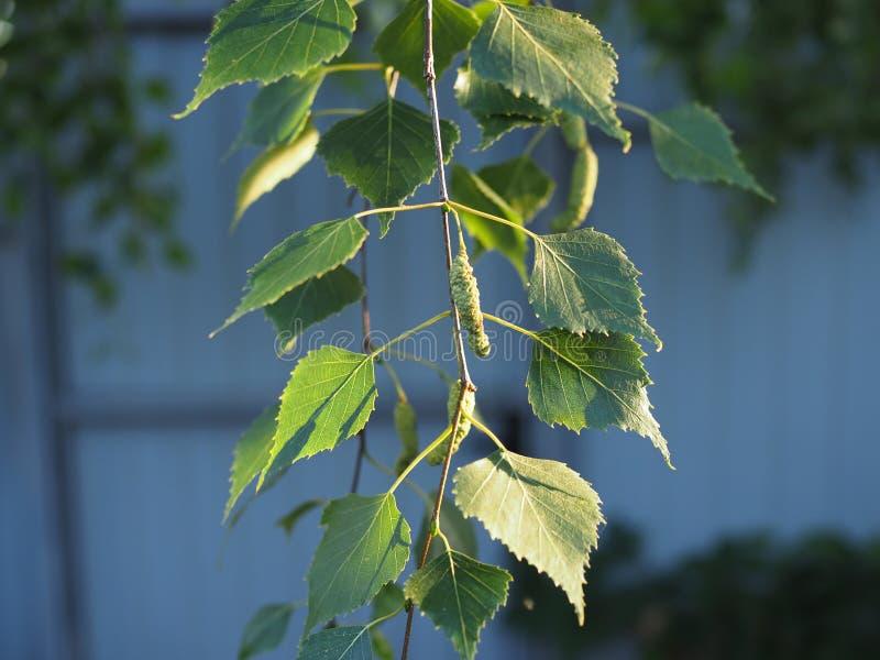 Jeunes feuilles vertes juteuses sur les branches d'un bouleau au soleil en plein air au printemps macro-up estivale images stock
