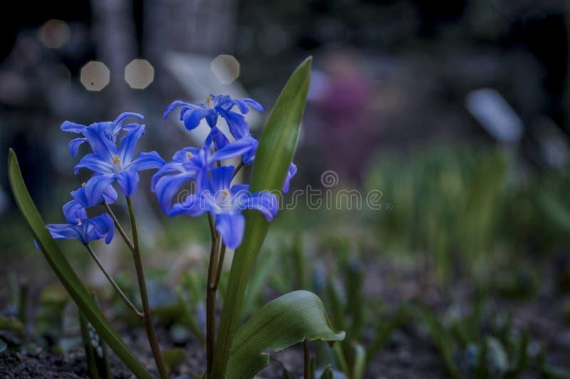 Jeunes fleurs bleues fraîches, foyer mou, crépuscule, éclairage de ville de nuit Ressort romantique rêveur, plan rapproché photographie stock libre de droits