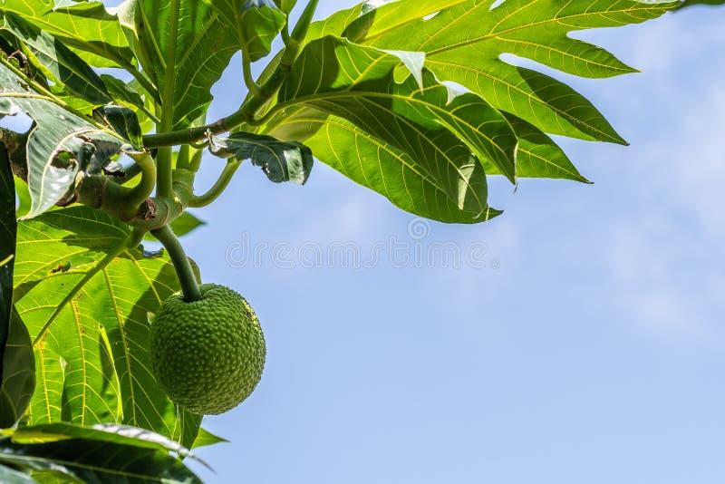 Jeunes fruits à pain vertes accrochant dans l'arbre images stock