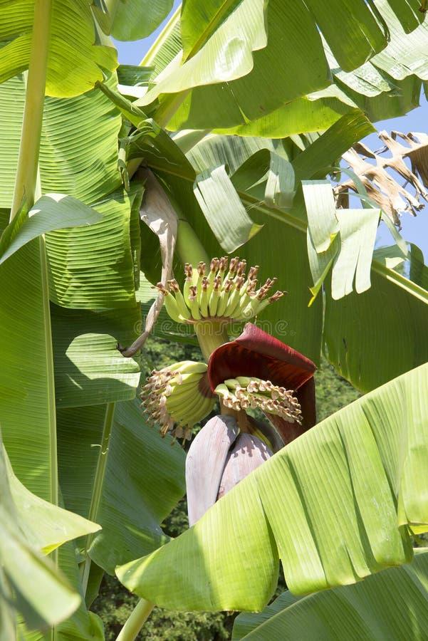 Jeunes groupes de bananes photo stock