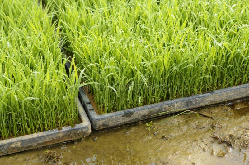 Jeunes jeunes plantes d'usine de riz prêtes pour planter dans la rizière image libre de droits