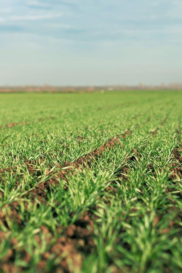 Jeunes jeunes plantes de blé dans un terrain images libres de droits