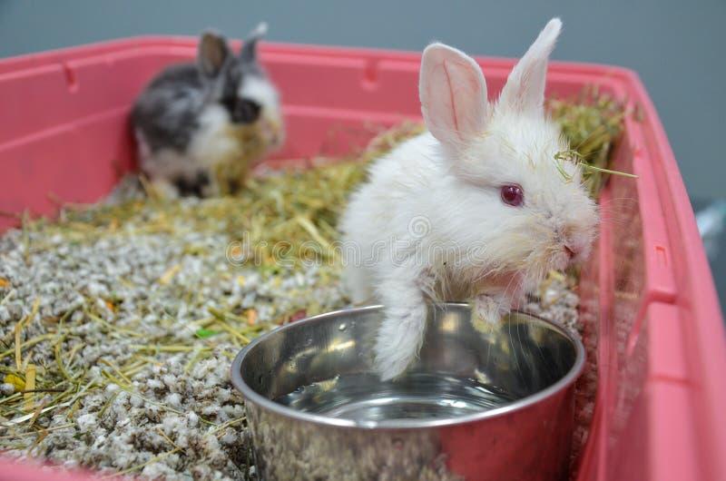 Jeunes lapins négligés et malades avec l'infection respiratoire supérieure à une clinique vétérinaire photo libre de droits