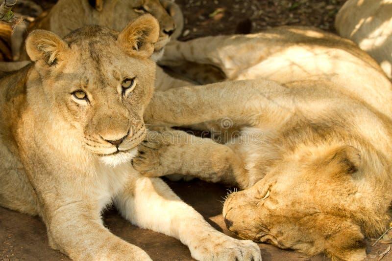 Jeunes lions paresseux photographie stock