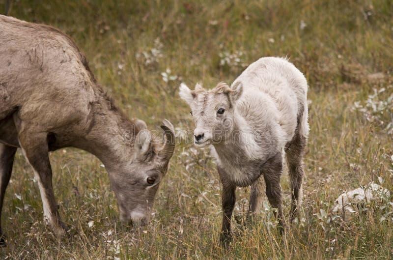 Jeunes mouflons d'Amérique de montagne rocheuse photos stock