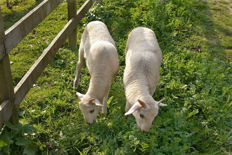 Jeunes moutons photos libres de droits