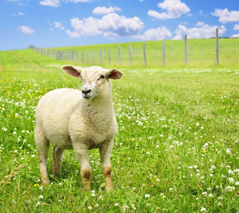 Jeunes moutons mignons images libres de droits