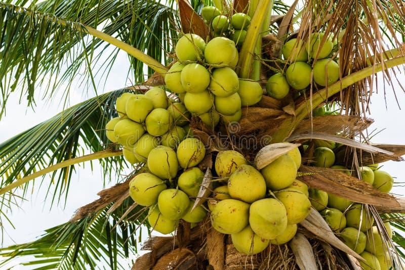 Jeunes noix de coco sur l'arbre de noix de coco photos stock