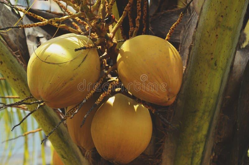 Jeunes noix de coco sur son arbre images stock