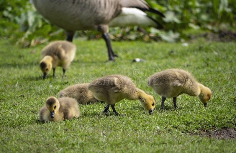 Jeunes oisons forageant sur l'herbe images stock