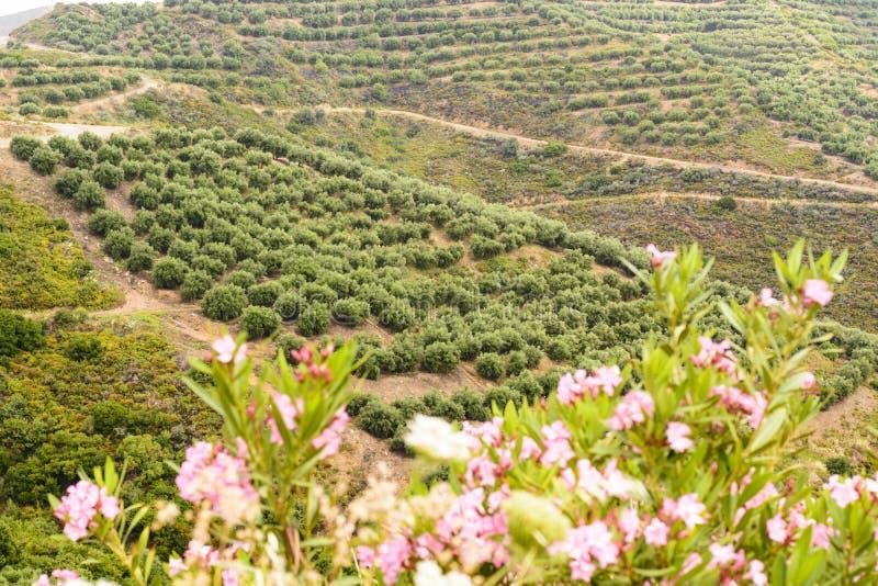 Jeunes oliviers dans la plantation, Grèce images stock