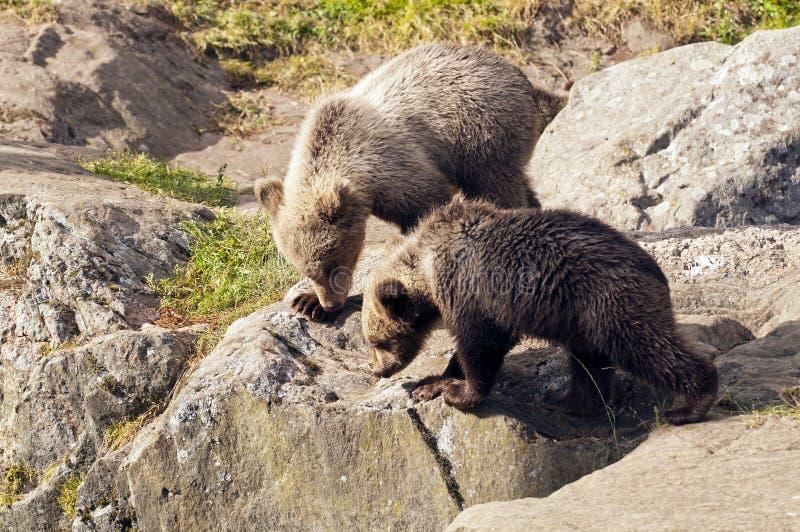 Jeunes ours photo libre de droits