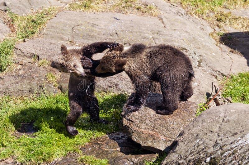 Jeunes ours de Brown photo libre de droits